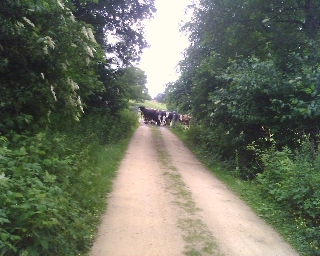 Run away from cows!